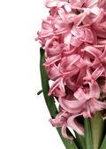 粉色的风信子花 — 图库照片
