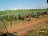 Sisal farm — Stock Photo