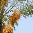 Stock Photo: Date palm yield (Phoenix dactylifera)