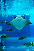 Smiley Ray in the aquarium — Stock Photo