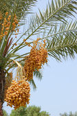 Date palm yield (Phoenix dactylifera) — Stock Photo