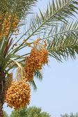 Date palm yield (Phoenix dactylifera) — Stock Photo