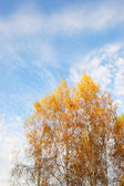Yellow leafs of Birch tree — Stock Photo