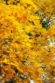 Maple tree leafs in warm autumn colors — Stock Photo