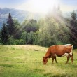 Green meadow in mountains and cow - Stock Photo