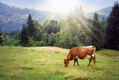 Green meadow in mountains and cow — Stock Photo