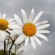 White camomiles - Stock Photo