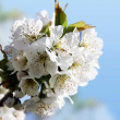 Stock Photo: Spring florescence
