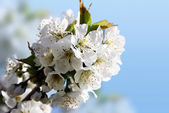 Spring florescence — Stock Photo