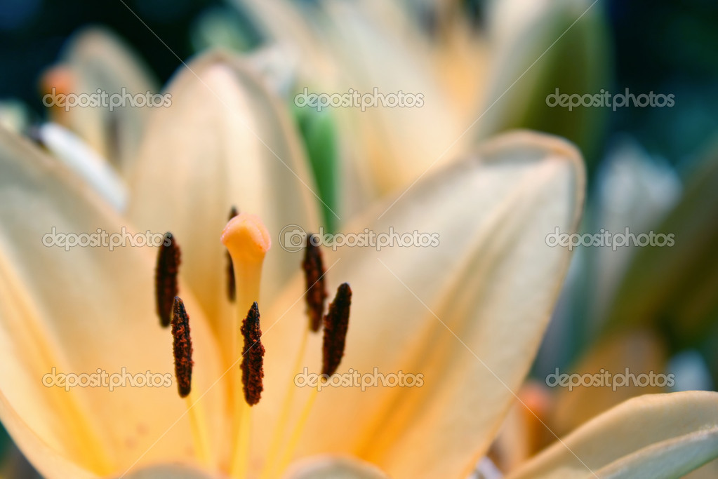 Tender lily, yellow transparent petals — Stock Photo #1383550