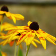 Rudbeckia flowers — Stock Photo #1254506