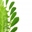 Euphorbia trigona. — Stock Photo #1354954