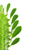 Euphorbia trigona. — Stock Photo