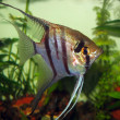 Pterophyllum scalare — Stock Photo