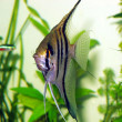 pterophyllum scalare — Stock Photo #1268015