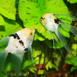 Stock Photo: Pterophyllum scalare