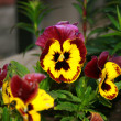 Pansy — Stock Photo