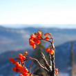 Foto Stock: Winter Rowan