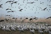 Cranes migrates at spring — Stock Photo