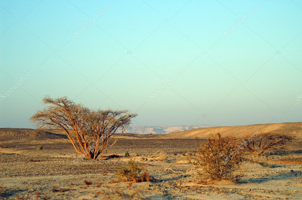 Desert landscape - a tree in Arava desert, Israel on sunrise — Stock Photo #1268464