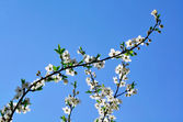 A branch of japanese apple-tree — Stock Photo