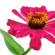 Stock Photo: Gerberflower isolated
