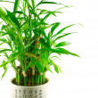 Stock Photo: Lucky bamboo bush in pot