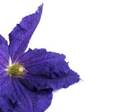 A convolvulus flower isolated — Stock Photo