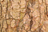 A fir tree bark — Stock Photo