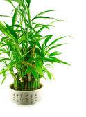 A lucky bamboo bush in a pot — Stock Photo