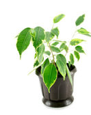 A rubber plant in a pot isolated — Stock Photo