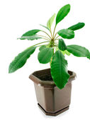 A spurge in a pot isolated — Stock Photo