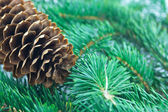 Fir cone and branch — Stock Photo