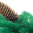 Fir cone and branch — 图库照片