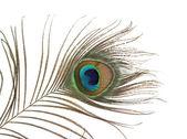 Bir tavus kuşu tüyü — Stok fotoğraf