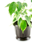 A rubber plant in a pot isolated_ — Stock Photo