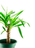 An yucca isolated — Stock Photo
