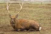 Dappled deer — Stock Photo