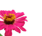 A gerbera flower isolated — Stock Photo