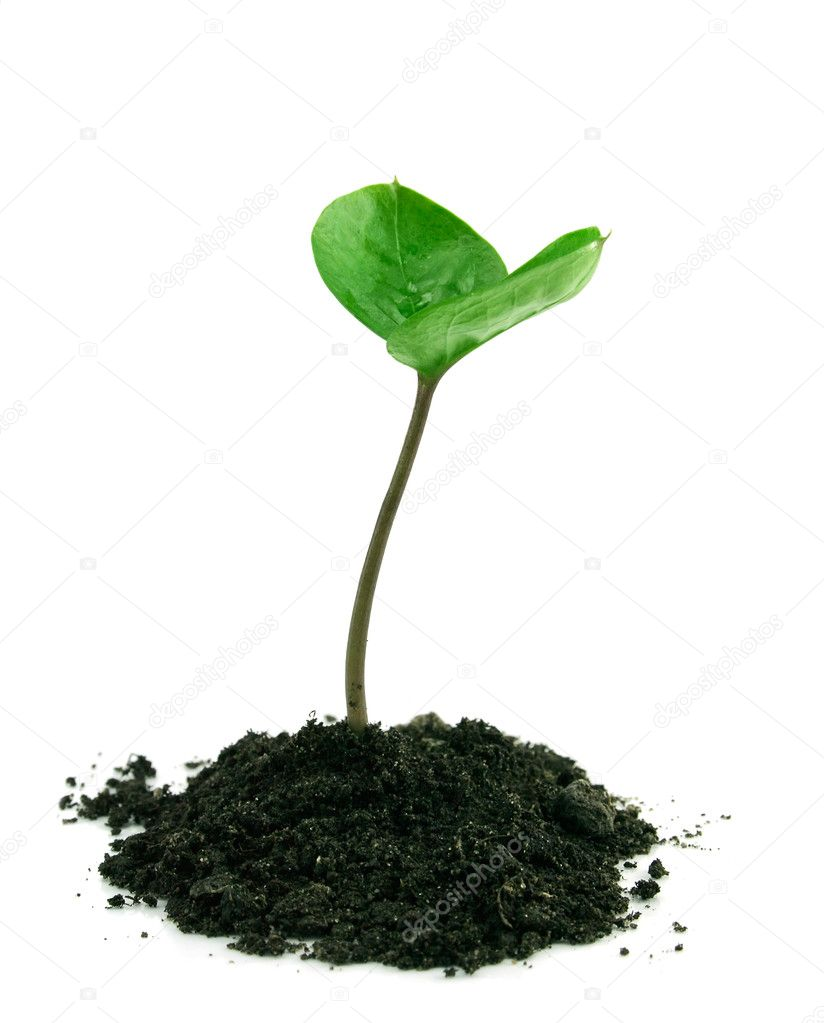 A sprout in a ground isolated on a white background  Stock Photo #1351544