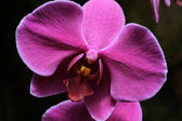 Violet Orchid — Stock Photo