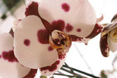 Orchid with violet points — Stock Photo