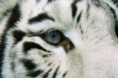 Eye of White Tiger — Stock Photo
