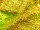 Lanate close-up leaves with drops — Stock Photo