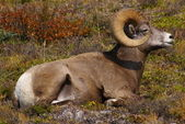 Rocky Mountain Sheep C — Stock Photo