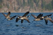 Canada Geese B — Stock Photo