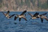 Canada Geese B — Stock Photo
