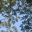 Fig tree canopy — Stock Photo