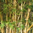 Bamboo cane — Stock Photo