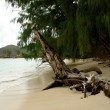 Stock Photo: Withered tree on sandy beach